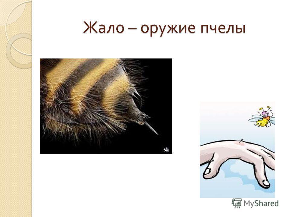 Жало – оружие пчелы