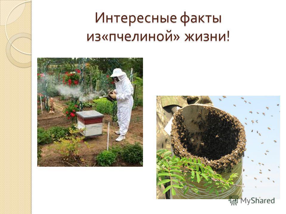 Интересные факты из « пчелиной » жизни !