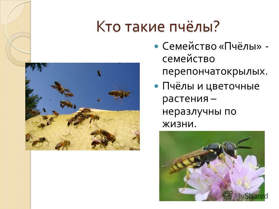 Кто такие пчёлы ? Семейство « Пчёлы » - семейство перепончатокрылых. Пчёлы и цветочные растения – неразлучны по жизни.