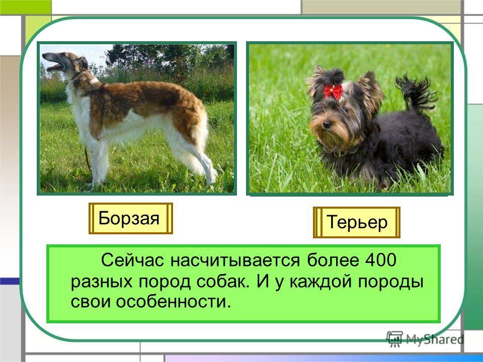 Сейчас насчитывается более 400 разных пород собак. И у каждой породы свои особенности. Лайка Овчарка Легавая Гончая Борзая Терьер
