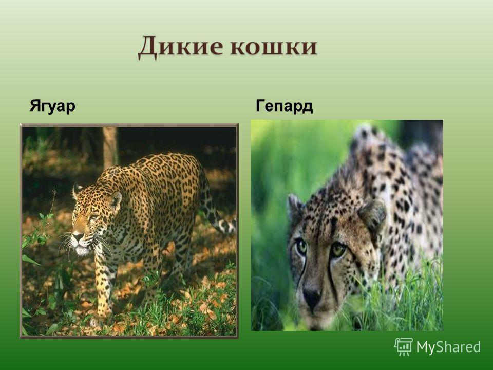 ЯгуарГепард