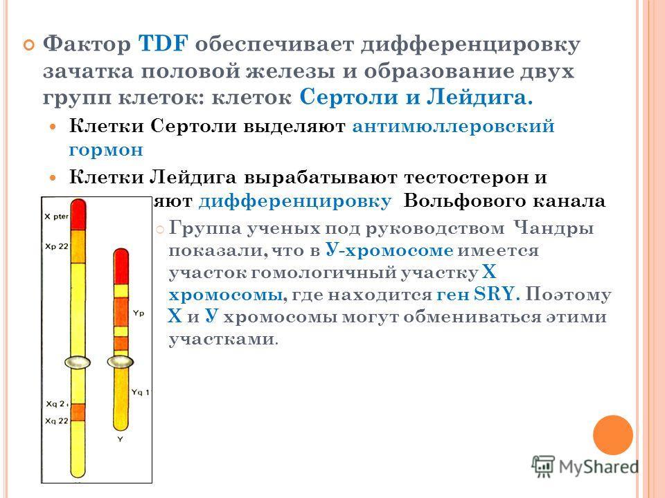Фактор TDF обеспечивает дифференцировку зачатка половой железы и образование двух групп клеток: клеток Сертоли и Лейдига. Клетки Сертоли выделяют антимюллеровский гормон Клетки Лейдига вырабатывают тестостерон и определяют дифференцировку Вольфового