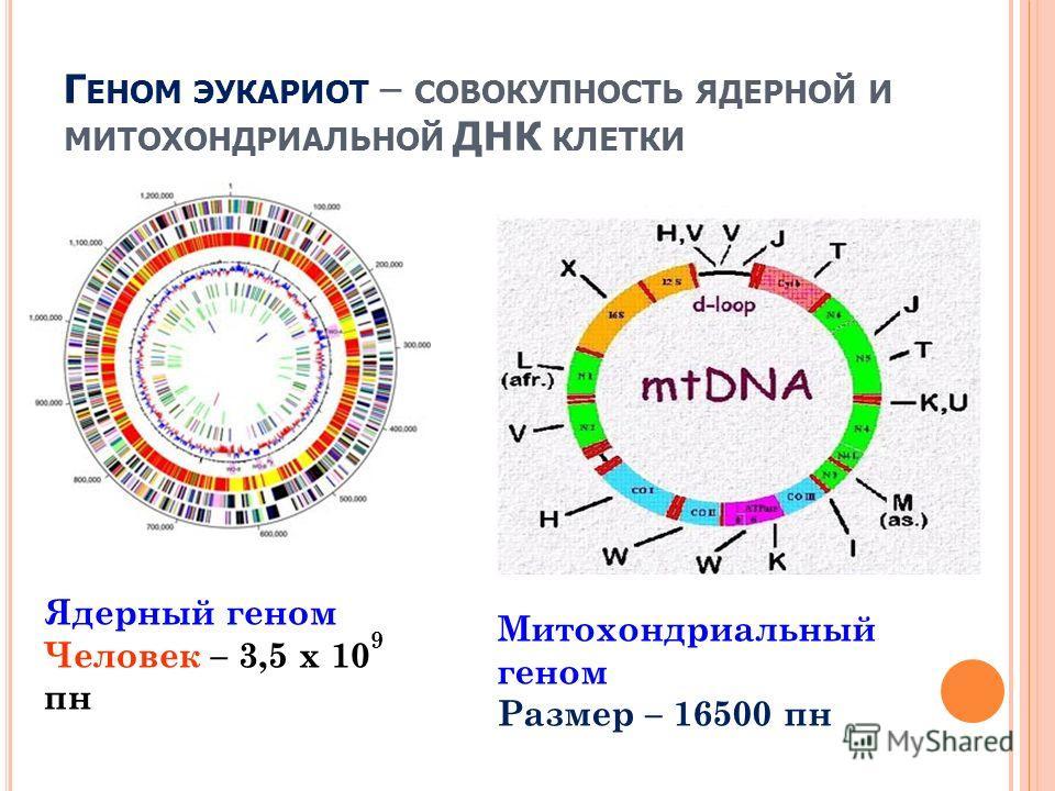 Ядерный геном Человек – 3,5 х 10 9 пн Митохондриальный геном Размер – 16500 пн Г ЕНОМ ЭУКАРИОТ – СОВОКУПНОСТЬ ЯДЕРНОЙ И МИТОХОНДРИАЛЬНОЙ ДНК КЛЕТКИ