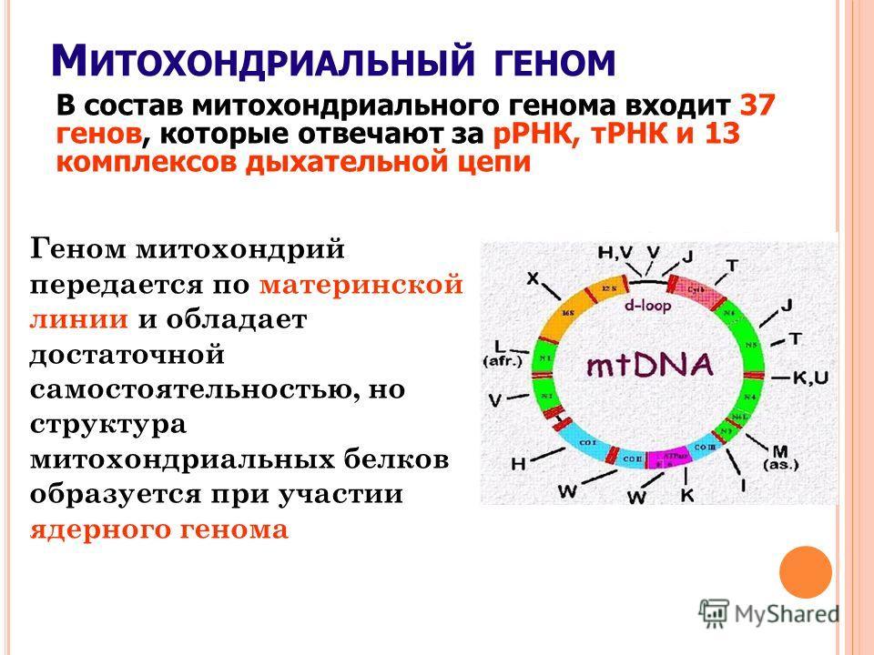 М ИТОХОНДРИАЛЬНЫЙ ГЕНОМ В состав митохондриального генома входит 37 генов, которые отвечают за рРНК, тРНК и 13 комплексов дыхательной цепи Геном митохондрий передается по материнской линии и обладает достаточной самостоятельностью, но структура митох