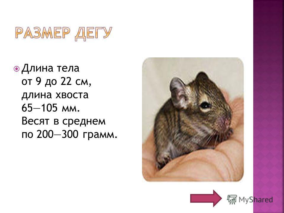 Длина тела от 9 до 22 см, длина хвоста 65105 мм. Весят в среднем по 200300 грамм.