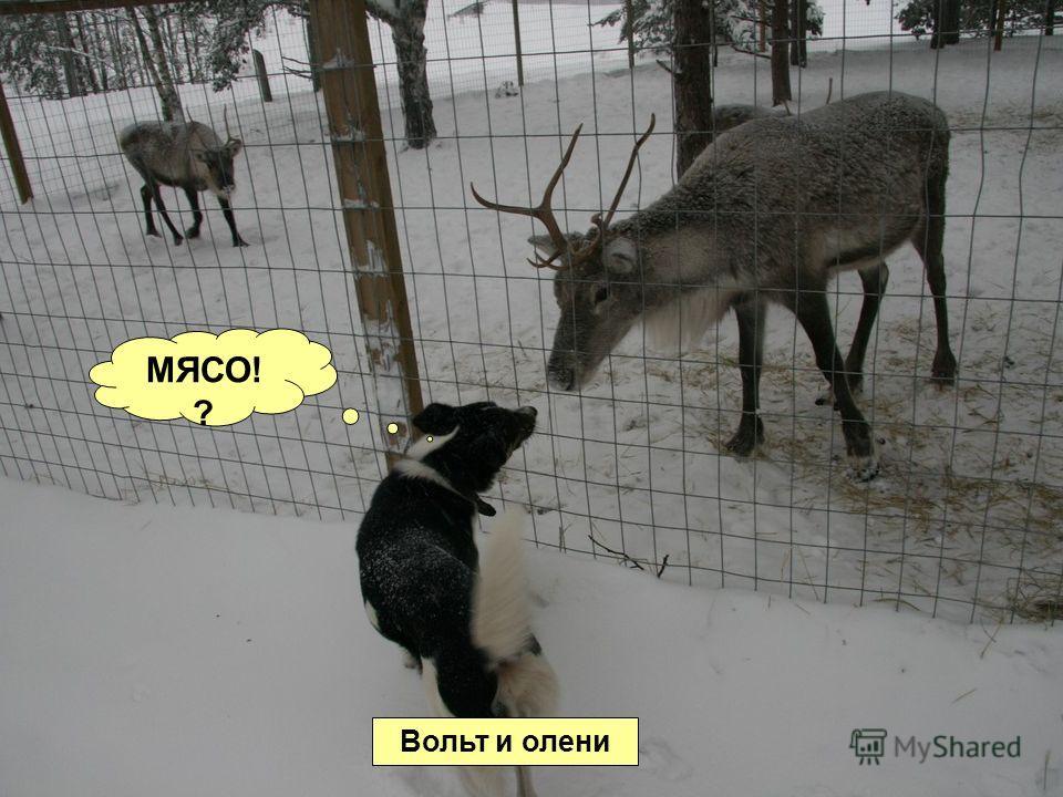 Вольт и олени МЯСО! ?
