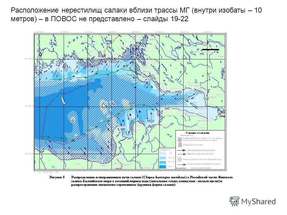 Расположение нерестилищ салаки вблизи трассы МГ (внутри изобаты – 10 метров) – в ПОВОС не представлено – слайды 19-22