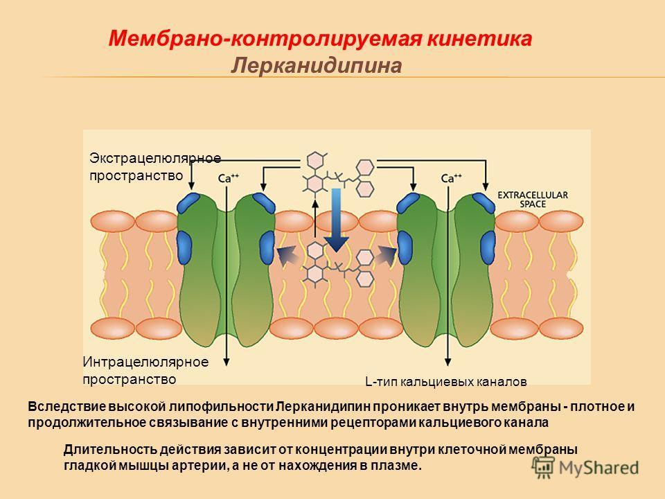 Мембрано-контролируемая кинетика Лерканидипина Экстрацелюлярное пространство Интрацелюлярное пространство L-тип кальциевых каналов Вследствие высокой липофильности Лерканидипин проникает внутрь мембраны - плотное и продолжительное связывание с внутре