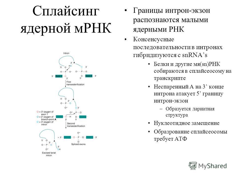 Сплайсинг ядерной мРНК Границы интрон-экзон распознаются малыми ядерными РНК Консенсусные последовательности в интронах гибридизуются с snRNAs Белки и другие мя(sn)РНК собираются в сплайсеосому на транскрипте Неспаренный А на 3 конце интрона атакует