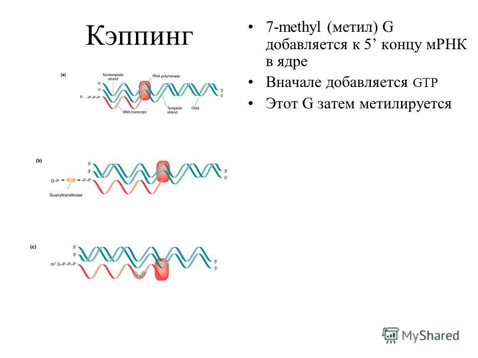 Кэппинг 7-methyl (метил) G добавляется к 5 концу мРНК в ядре Вначале добавляется GTP Этот G затем метилируется