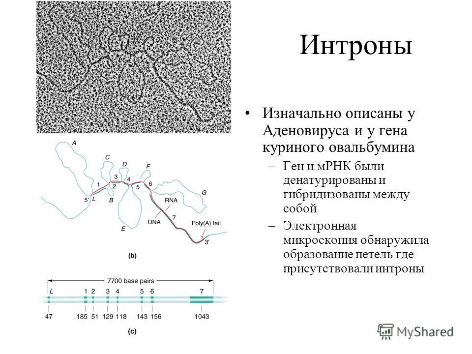 Интроны Изначально описаны у Аденовируса и у гена куриного овальбумина –Ген и мРНК были денатурированы и гибридизованы между собой –Электронная микроскопия обнаружила образование петель где присутствовали интроны