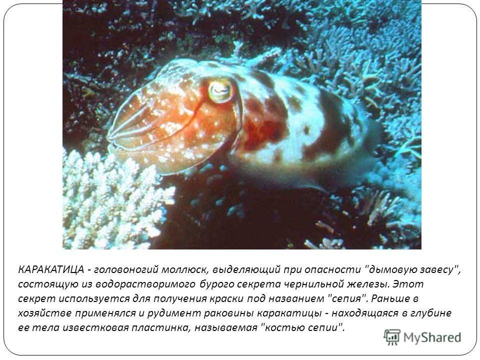 КАРАКАТИЦА - головоногий моллюск, выделяющий при опасности