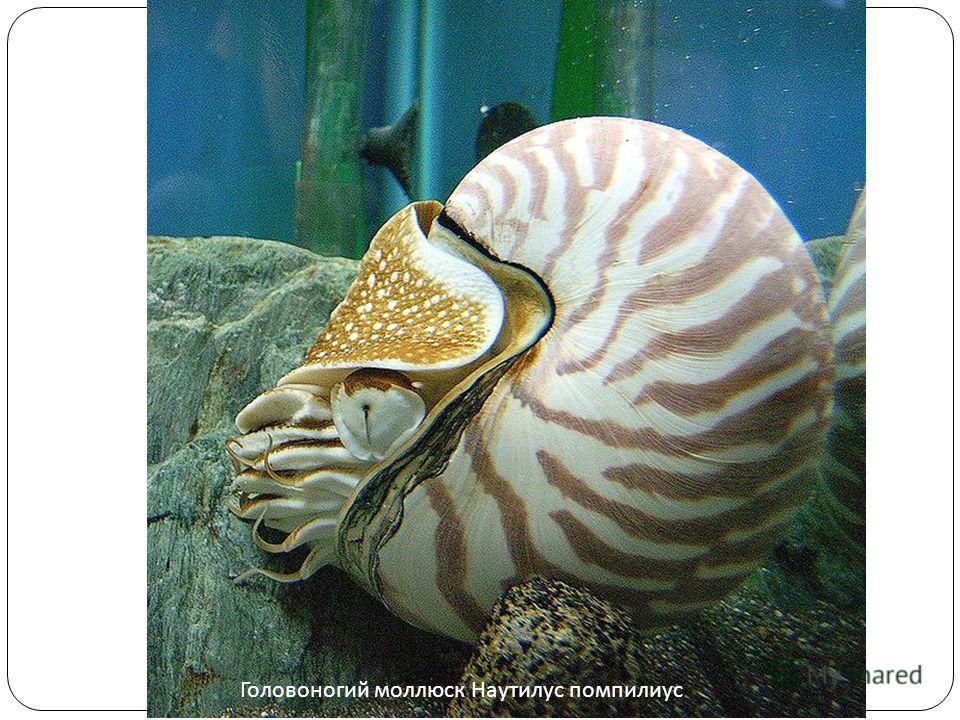 Головоногий моллюск Наутилус помпилиус