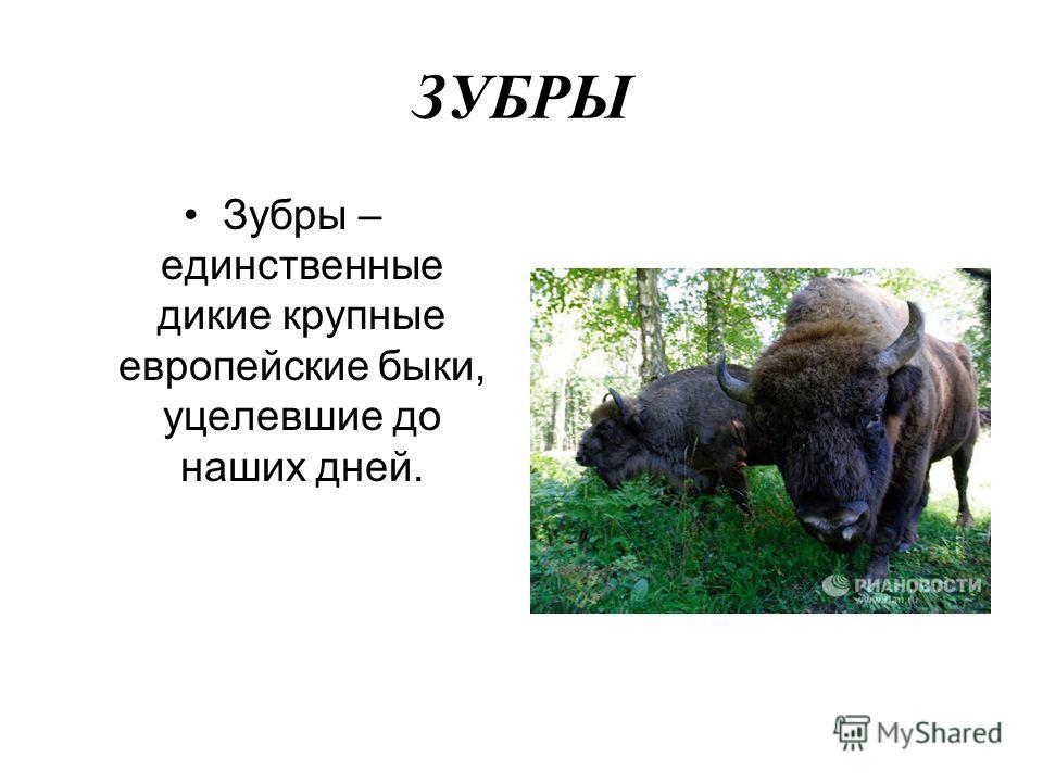 ЗУБРЫ Зубры – единственные дикие крупные европейские быки, уцелевшие до наших дней.