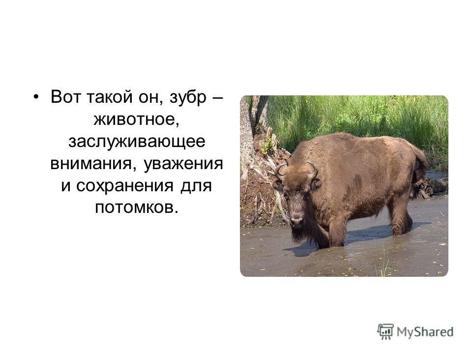 Вот такой он, зубр – животное, заслуживающее внимания, уважения и сохранения для потомков.