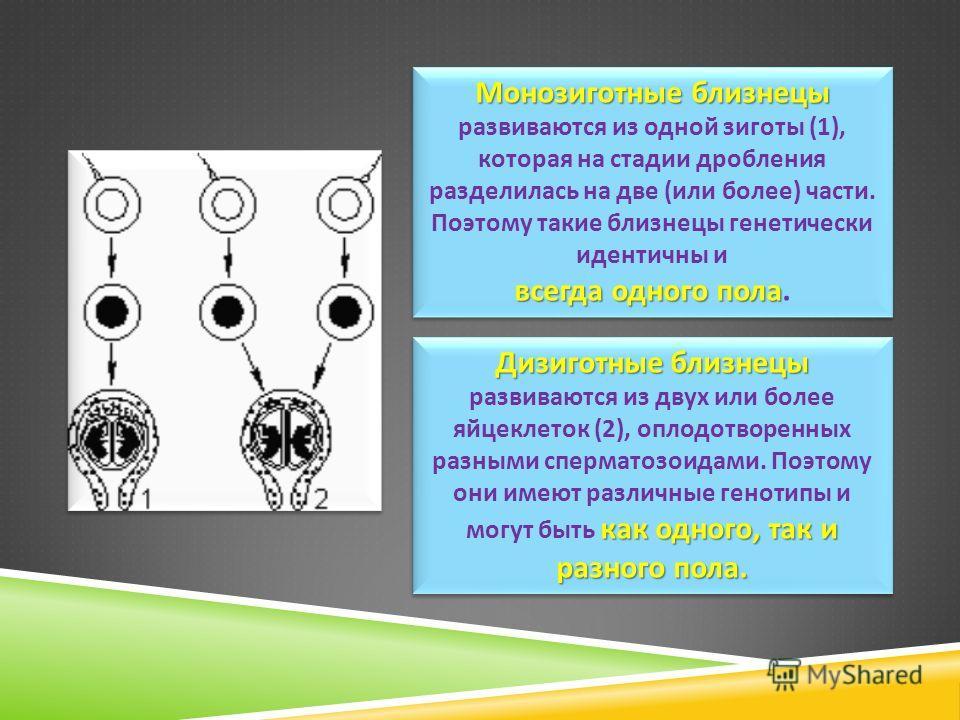 Монозиготные близнецы Монозиготные близнецы развиваются из одной зиготы (1), которая на стадии дробления разделилась на две ( или более ) части. Поэтому такие близнецы генетически идентичны и всегда одного пола всегда одного пола. Монозиготные близне