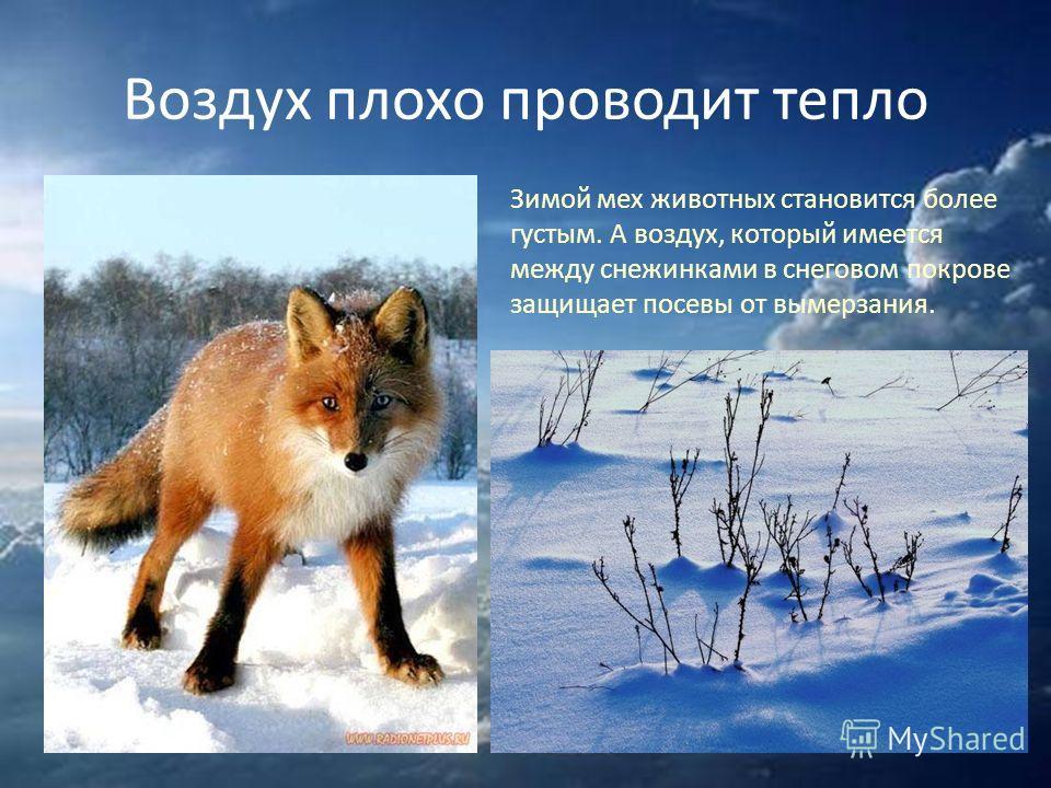 Воздух плохо проводит тепло Зимой мех животных становится более густым. А воздух, который имеется между снежинками в снеговом покрове защищает посевы от вымерзания.