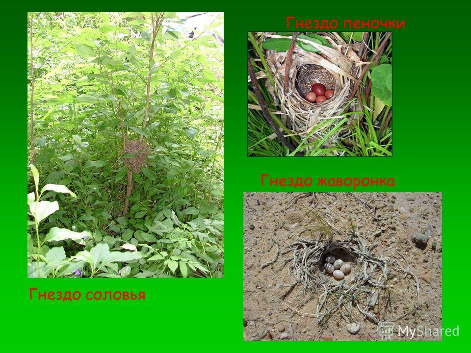 Гнездо пеночки Гнездо соловья Гнездо жаворонка