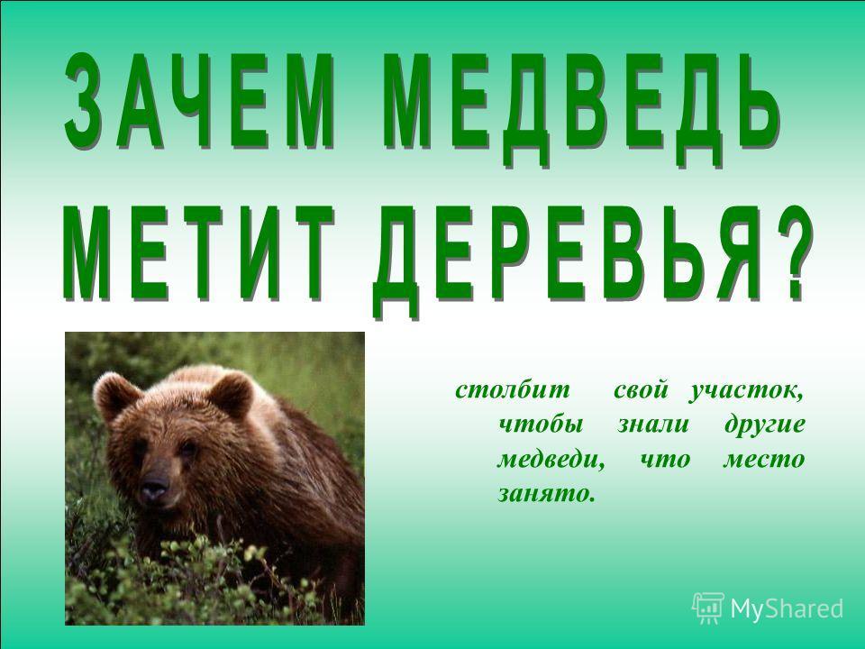 столбит свой участок, чтобы знали другие медведи, что место занято.