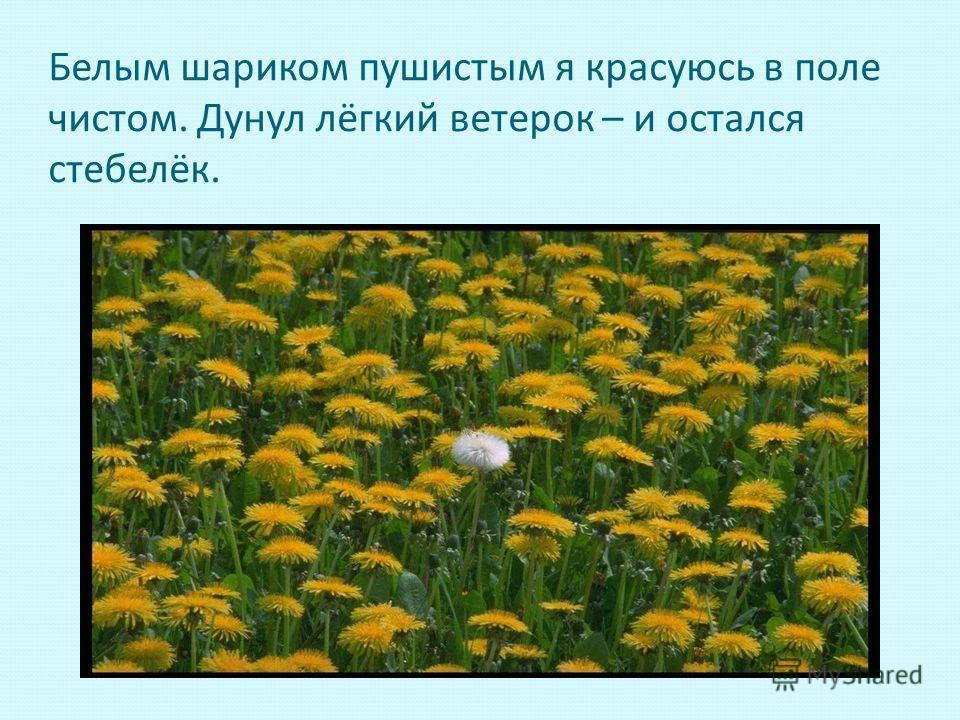 Белым шариком пушистым я красуюсь в поле чистом. Дунул лёгкий ветерок – и остался стебелёк.