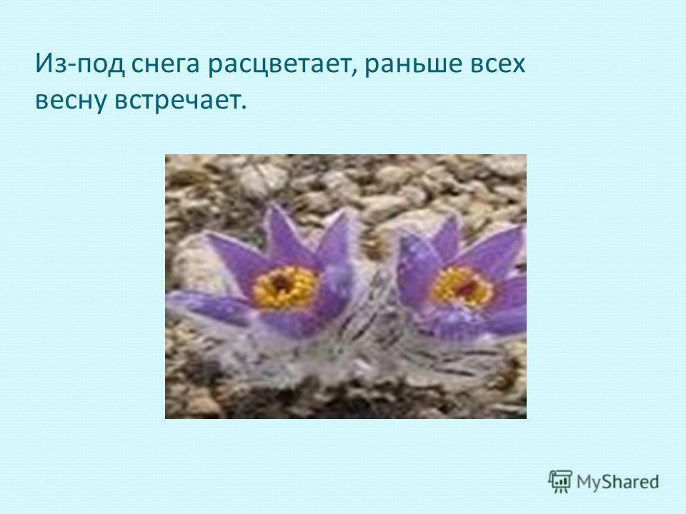 Из-под снега расцветает, раньше всех весну встречает.