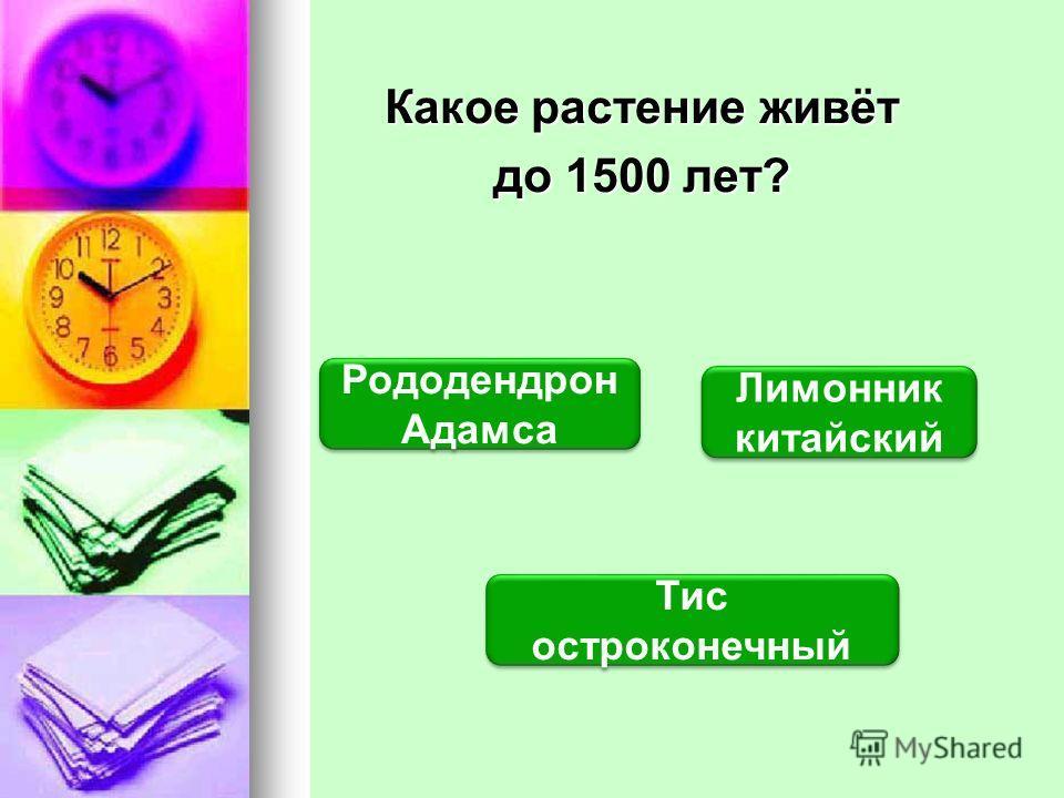 Какое растение живёт до 1500 лет? Тис остроконечный Тис остроконечный Рододендрон Адамса Рододендрон Адамса Лимонник китайский Лимонник китайский