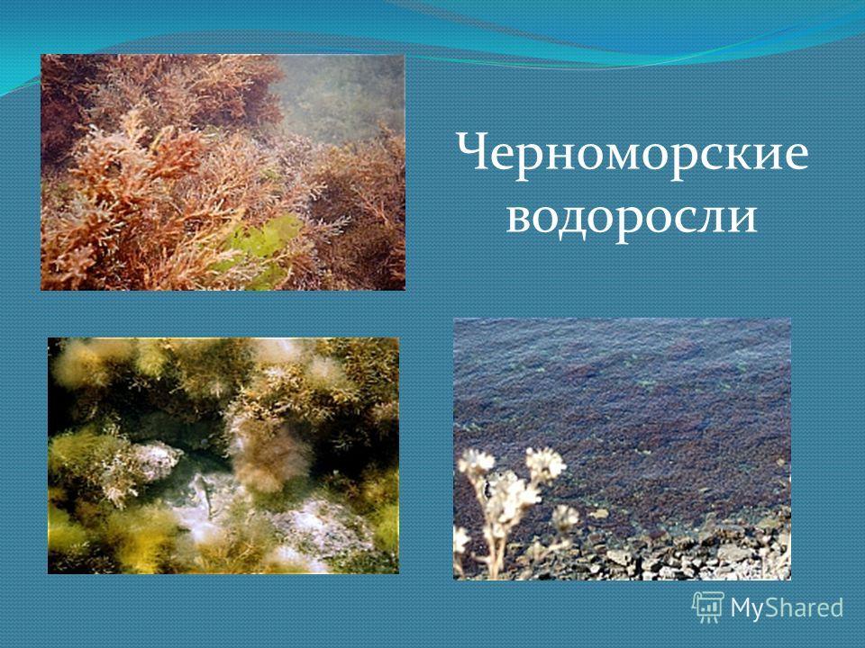 Черноморские водоросли