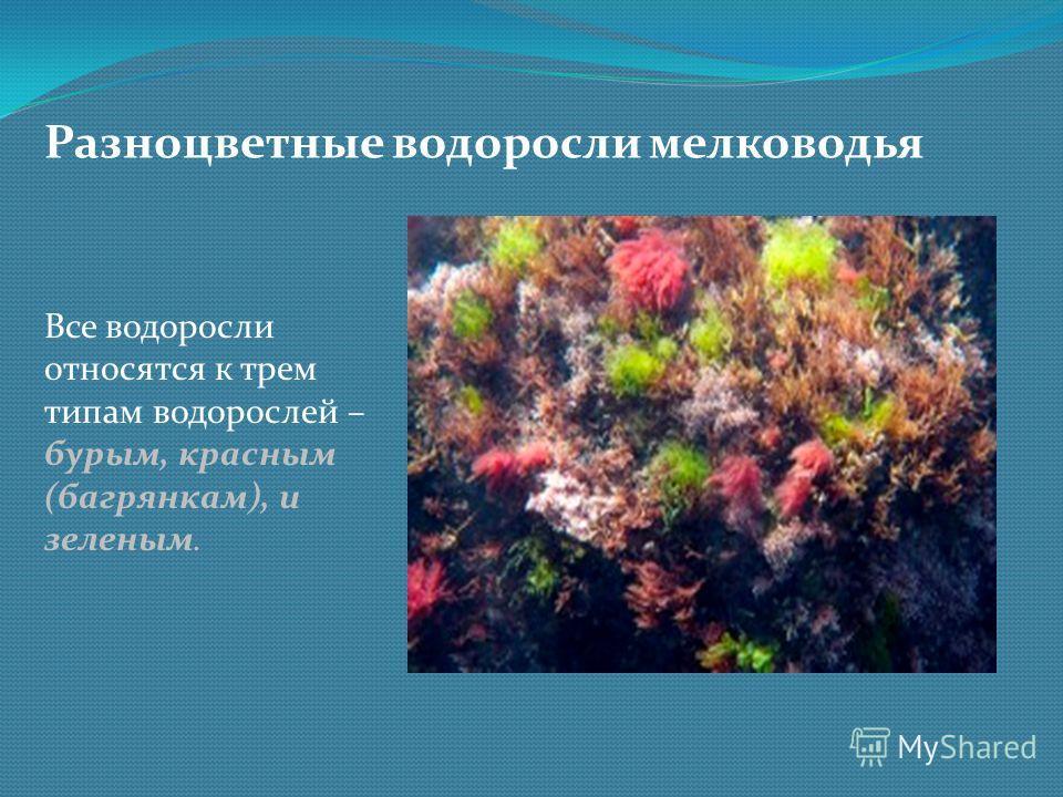Разноцветные водоросли мелководья Все водоросли относятся к трем типам водорослей – бурым, красным (багрянкам), и зеленым.