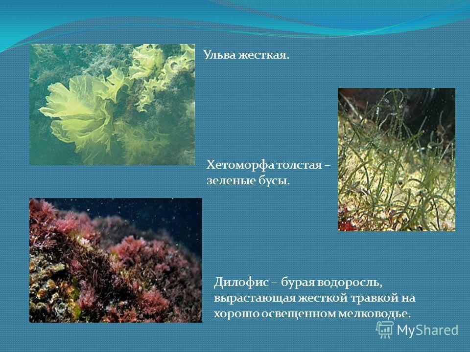 Ульва жесткая. Хетоморфа толстая – зеленые бусы. Дилофис – бурая водоросль, вырастающая жесткой травкой на хорошо освещенном мелководье.