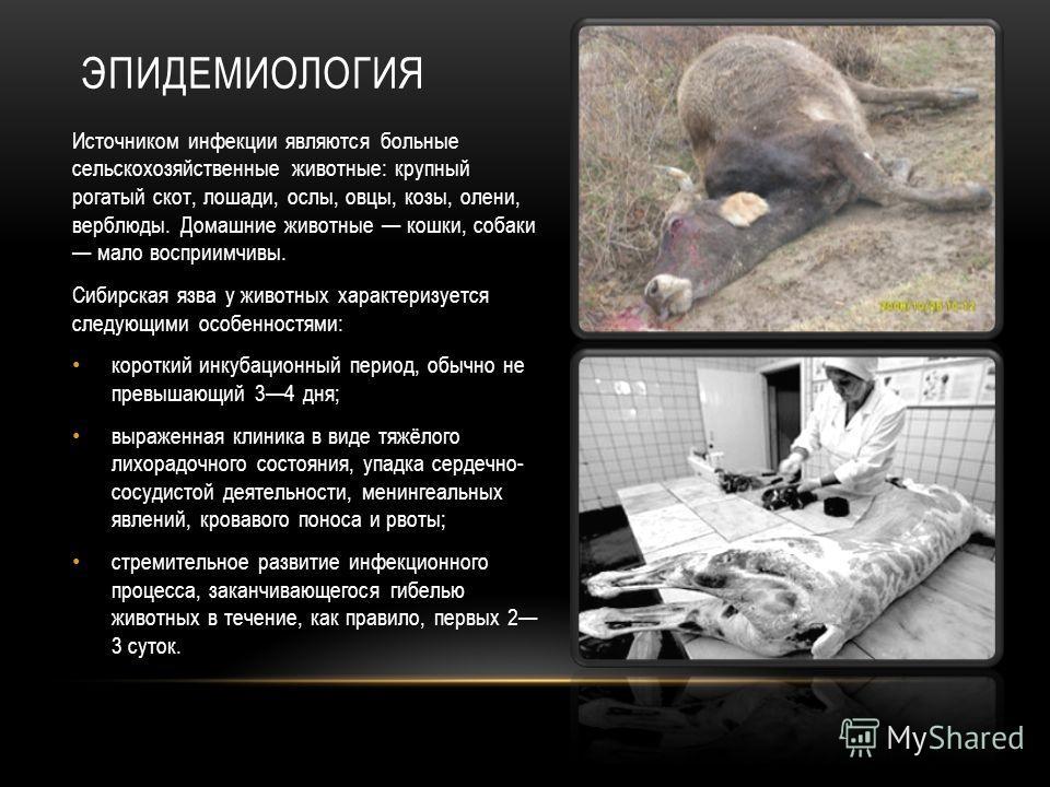 ЭПИДЕМИОЛОГИЯ Источником инфекции являются больные сельскохозяйственные животные: крупный рогатый скот, лошади, ослы, овцы, козы, олени, верблюды. Домашние животные кошки, собаки мало восприимчивы. Сибирская язва у животных характеризуется следующими