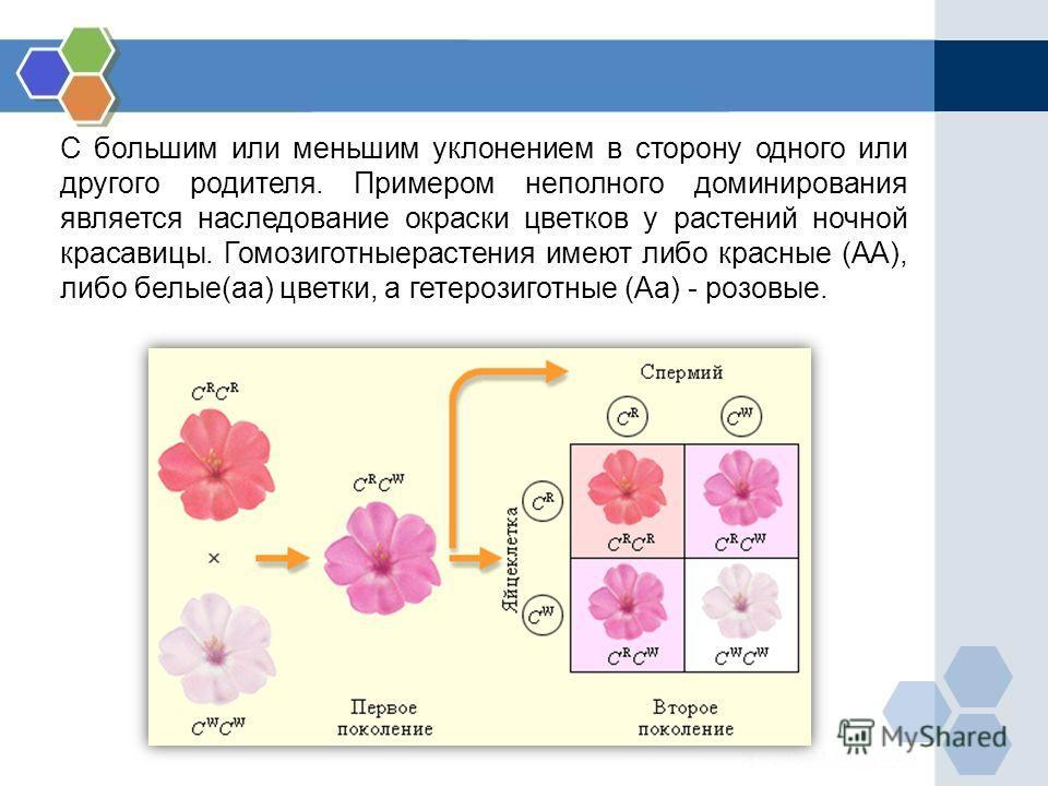 С большим или меньшим уклонением в сторону одного или другого родителя. Примером неполного доминирования является наследование окраски цветков у растений ночной красавицы. Гомозиготныерастения имеют либо красные (АА), либо белые(аа) цветки, а гетероз
