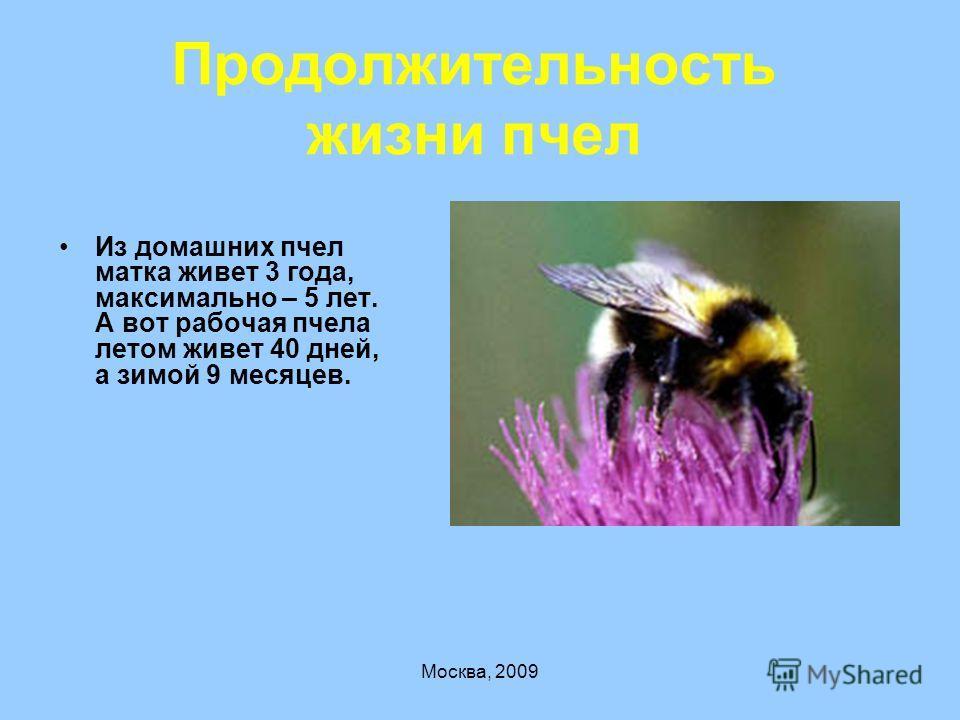 Москва, 2009 Продолжительность жизни пчел Из домашних пчел матка живет 3 года, максимально – 5 лет. А вот рабочая пчела летом живет 40 дней, а зимой 9 месяцев.