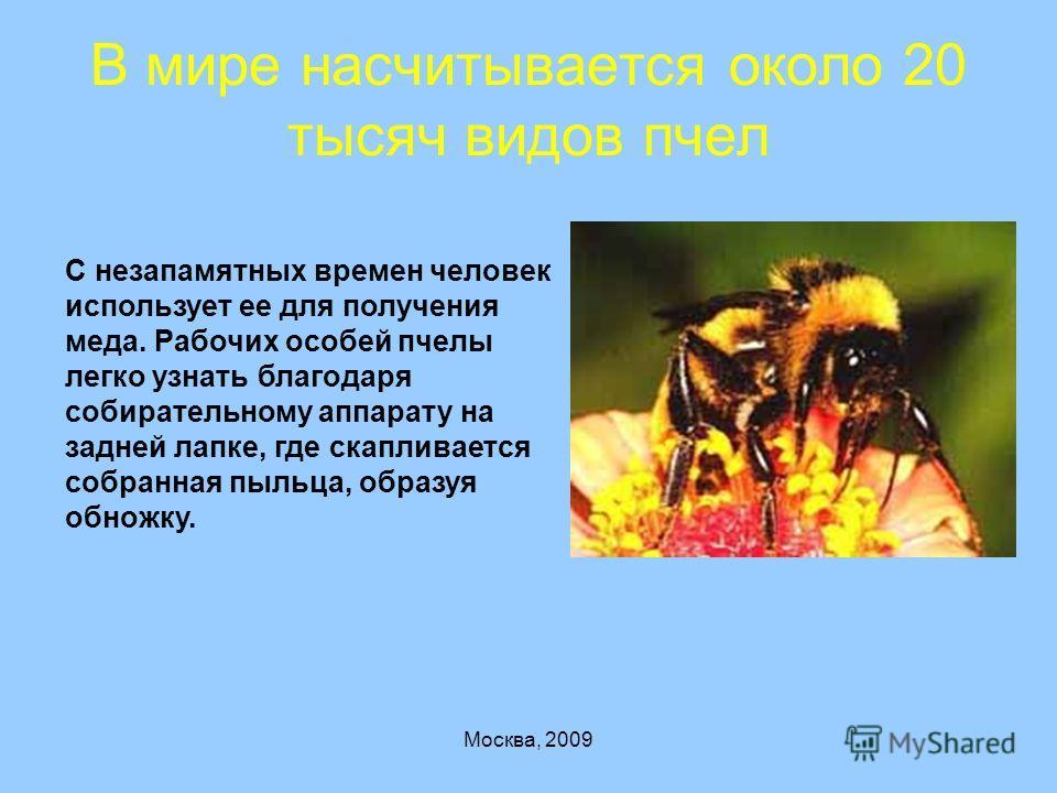 В мире насчитывается около 20 тысяч видов пчел С незапамятных времен человек использует ее для получения меда. Рабочих особей пчелы легко узнать благодаря собирательному аппарату на задней лапке, где скапливается собранная пыльца, образуя обножку.