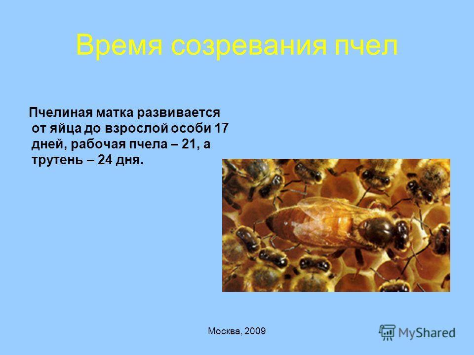 Москва, 2009 Время созревания пчел Пчелиная матка развивается от яйца до взрослой особи 17 дней, рабочая пчела – 21, а трутень – 24 дня.