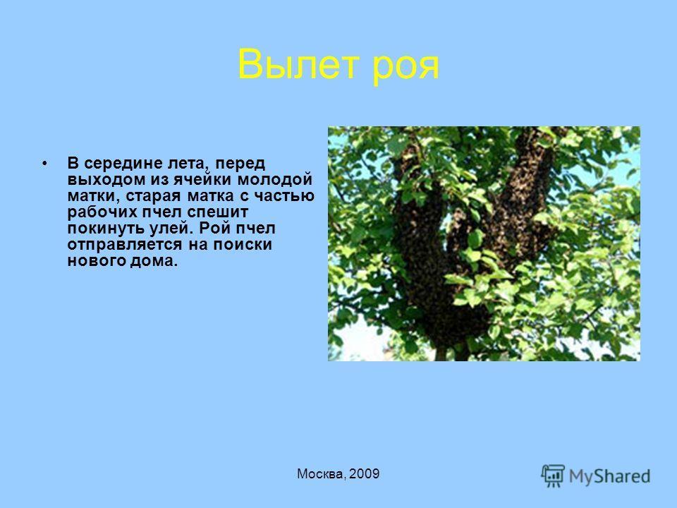 Москва, 2009 Вылет роя В середине лета, перед выходом из ячейки молодой матки, старая матка с частью рабочих пчел спешит покинуть улей. Рой пчел отправляется на поиски нового дома.