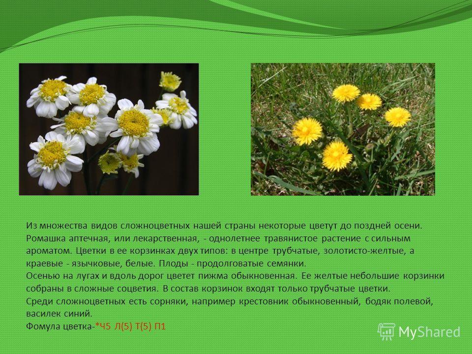 Ромашка цветки или соцветия