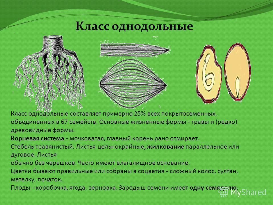 Класс однодольные составляет примерно 25% всех покрытосеменных, объединенных в 67 семейств. Основные жизненные формы - травы и (редко) древовидные формы. Корневая система - мочковатая, главный корень рано отмирает. Стебель травянистый. Листья цельнок