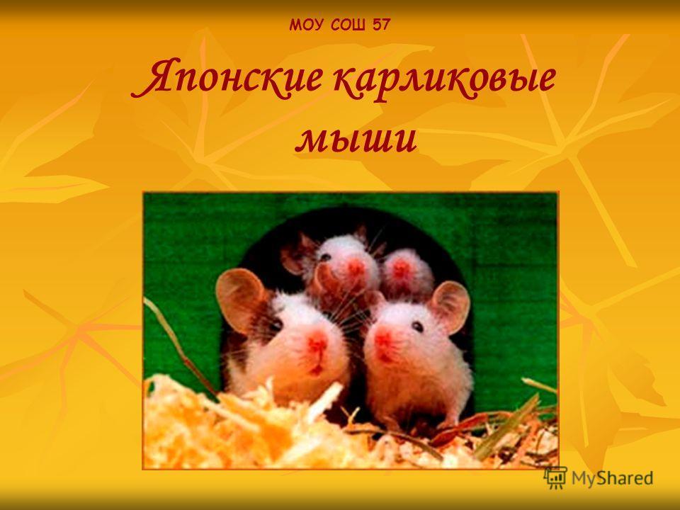 МОУ СОШ 57 Японские карликовые мыши