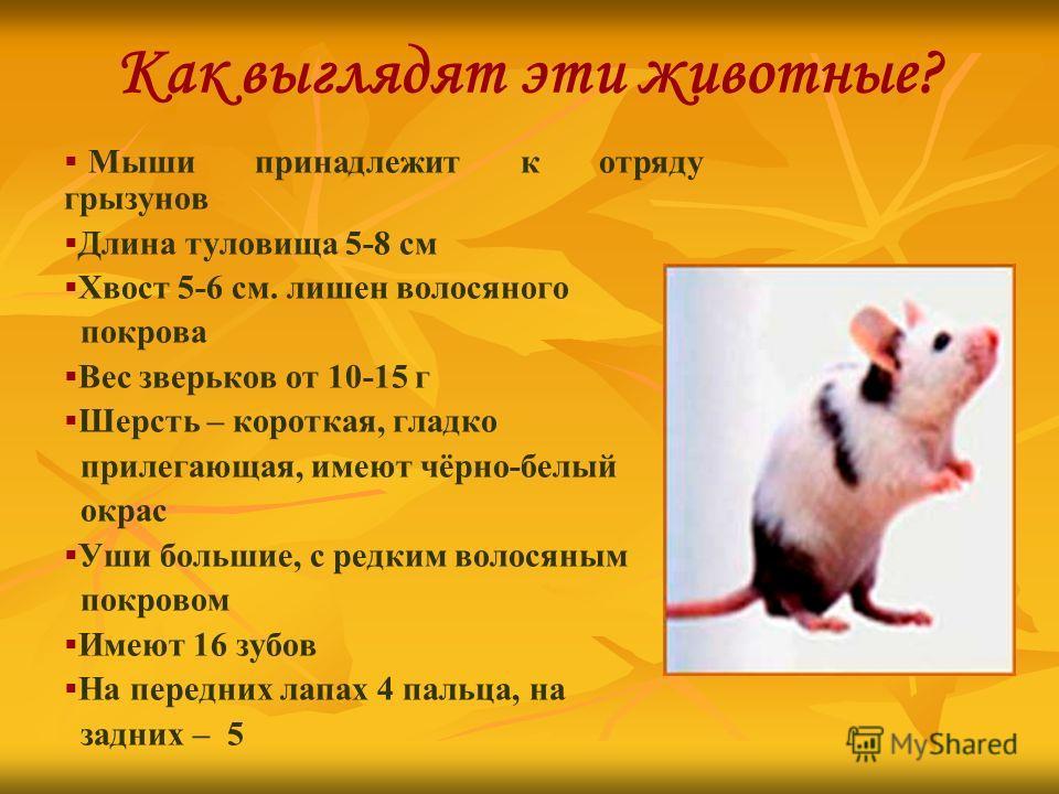Как выглядят эти животные? Мыши принадлежит к отряду грызунов Длина туловища 5-8 см Хвост 5-6 см. лишен волосяного покрова Вес зверьков от 10-15 г Шерсть – короткая, гладко прилегающая, имеют чёрно-белый окрас Уши большие, с редким волосяным покровом