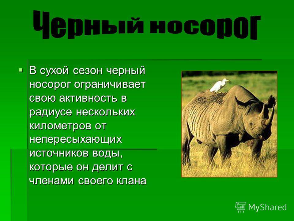 В сухой сезон черный носорог ограничивает свою активность в радиусе нескольких километров от непересыхающих источников воды, которые он делит с членами своего клана В сухой сезон черный носорог ограничивает свою активность в радиусе нескольких киломе