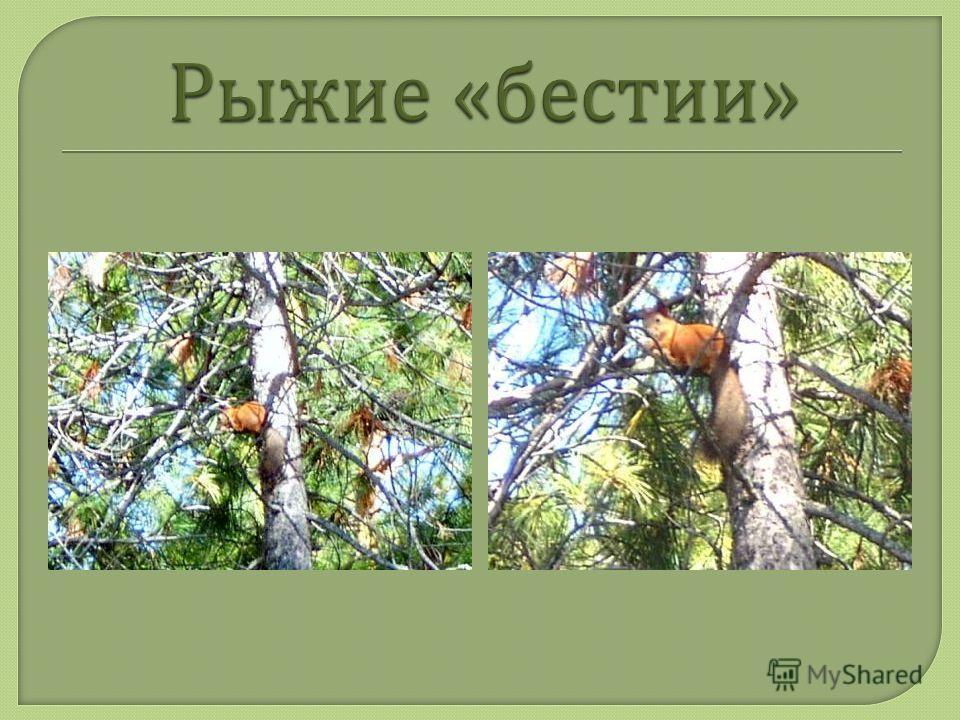 Сибирь любовь моя, моя стихия, Мне нравишься ты крутостью своей : - В разгар весны гроза и …. Вдруг снежные Бураны, зимних пострашней. Шумит тайга, испуганная стужей, Бушуют волны в реках и в ссорах, И зелень, расцветающая дружно, Бледнеет в снежных