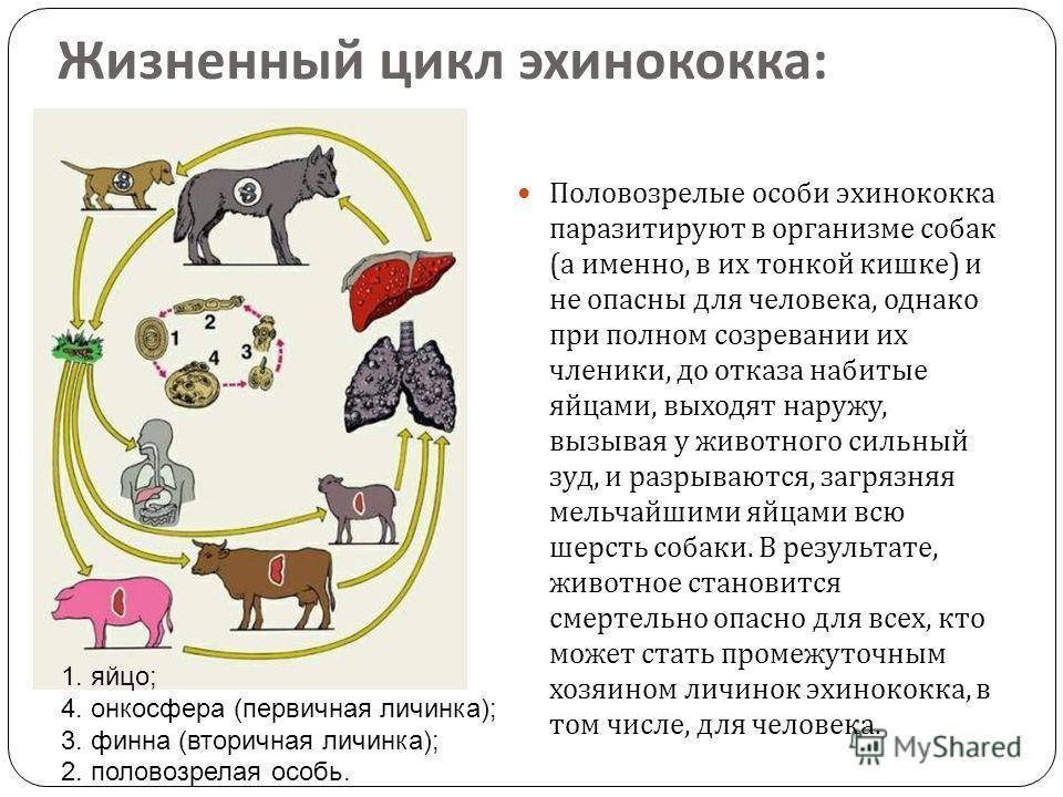 Жизненный цикл эхинококка : 1. яйцо; 4. онкосфера (первичная личинка); 3. финна (вторичная личинка); 2. половозрелая особь. Половозрелые особи эхинококка паразитируют в организме собак ( а именно, в их тонкой кишке ) и не опасны для человека, однако
