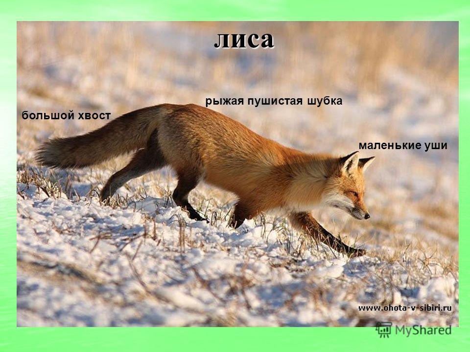 лиса маленькие уши рыжая пушистая шубка большой хвост