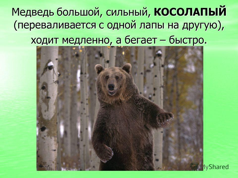 Медведь большой, сильный, КОСОЛАПЫЙ (переваливается с одной лапы на другую), ходит медленно, а бегает – быстро.