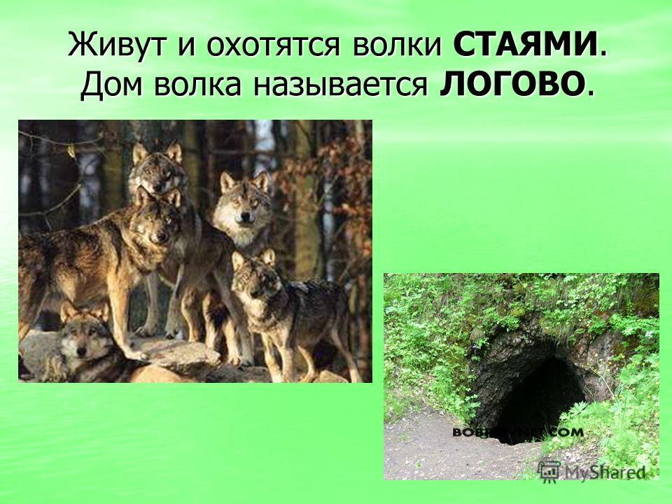 Живут и охотятся волки СТАЯМИ. Дом волка называется ЛОГОВО.