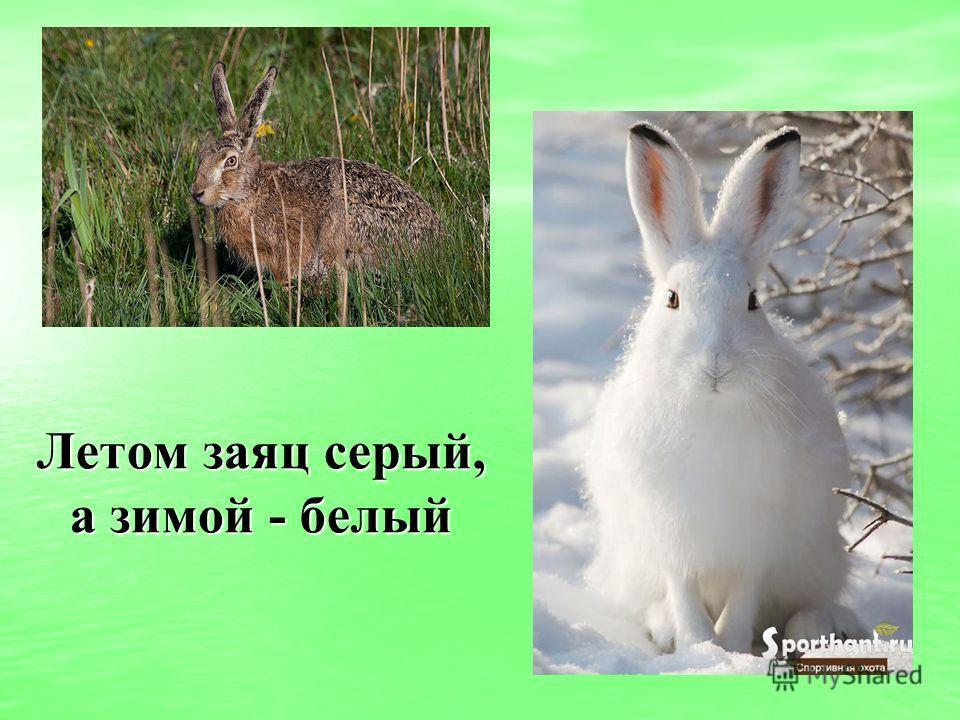 Летом заяц серый, а зимой - белый