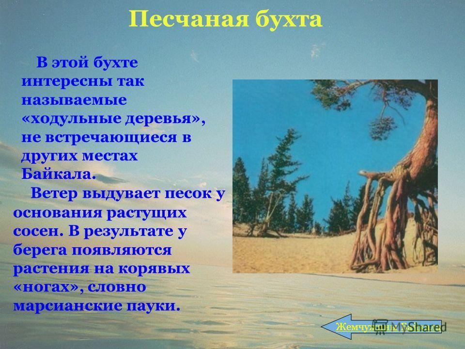 Песчаная бухта Ветер выдувает песок у основания растущих сосен. В результате у берега появляются растения на корявых «ногах», словно марсианские пауки. Жемчужины Байкала В этой бухте интересны так называемые «ходульные деревья», не встречающиеся в др