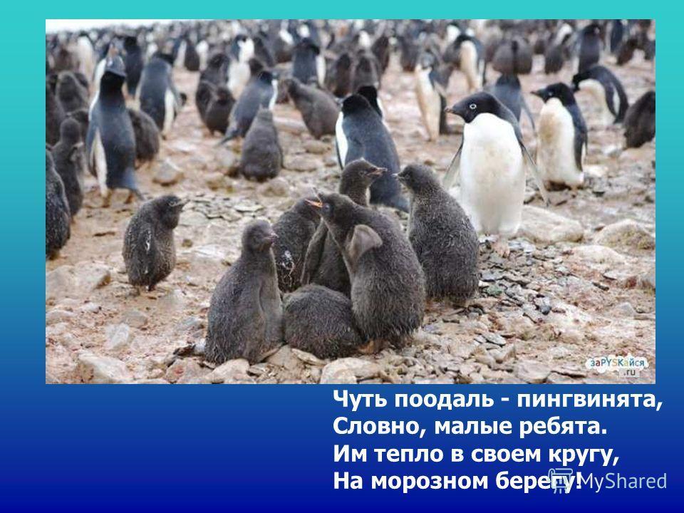 Чуть поодаль - пингвинята, Словно, малые ребята. Им тепло в своем кругу, На морозном берегу! Чуть поодаль - пингвинята, словно, малые ребята. Им тепло в своем кругу, на морозном берегу!