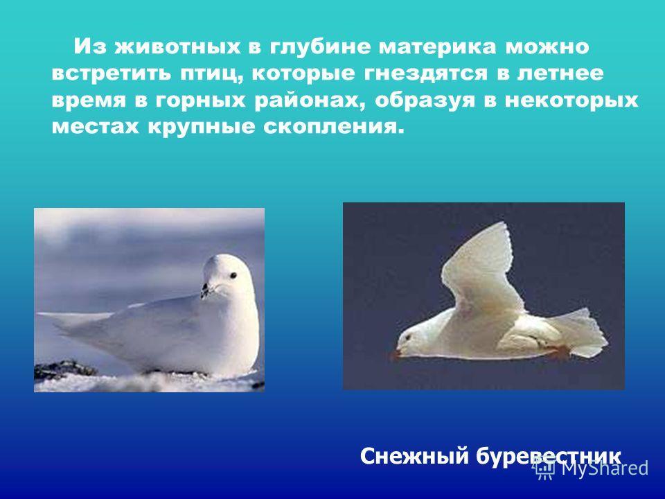 Из животных в глубине материка можно встретить птиц, которые гнездятся в летнее время в горных районах, образуя в некоторых местах крупные скопления. Снежный буревестник Из животных в глубине материка можно встретить птиц, которые гнездятся в летнее