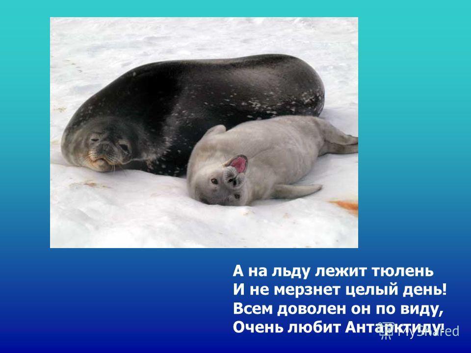 А на льду лежит тюлень И не мерзнет целый день! Всем доволен он по виду, Очень любит Антарктиду ! А на льду лежит тюлень И не мерзнет целый день! Всем доволен он по виду, очень любит антарктиду!